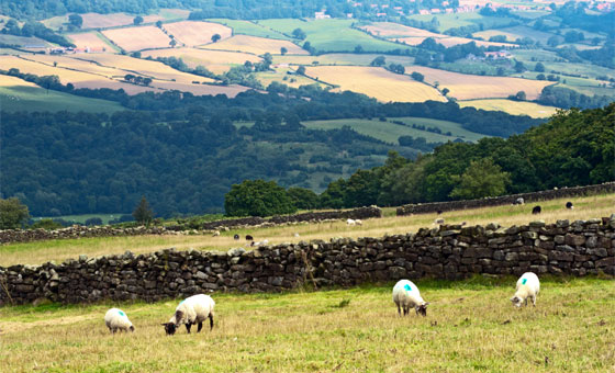 Sheep grazing on the North York Moors