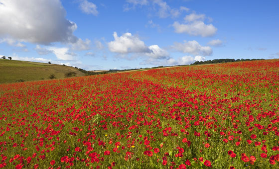 Yorkshire Wolds, Poppy Fields